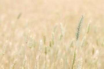 Acrylic Prints Daisies Wheat detail on a farmland
