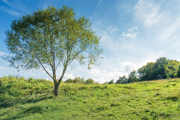 tree on the grassy hillside in early autumn. beautiful scenery at high noon. fluffy clouds on the sky