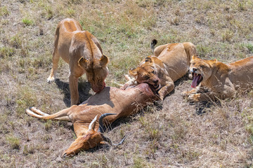 lioness who killed an antelope and is eating it, the young lion waiting beside - fototapety na wymiar