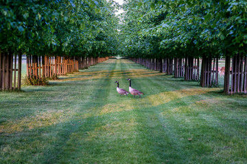 Two Canada geese walking across and avenue of lime trees, Home Park, Kingston upon Thames, Surrey, England, UK