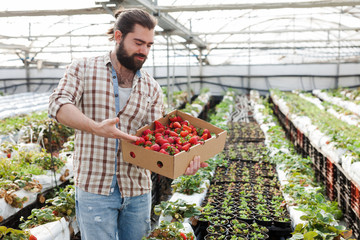 Successful male gardener with strawberries in a greenhouse