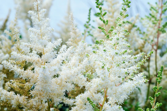 Bright white astilbe inflorescences in the garden.