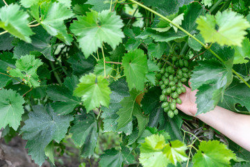 Farmer's hand holding and checking young green bunch of grapes on plantation of agriculture before spraying against diseases and pests. Viticulture background.