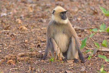 A Gray Langur Relaxing in the Forest