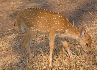 Baby Axis Deer Grazing in the Forest