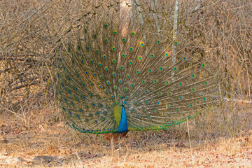 Male Peacock Showing his Full Display in the Forest