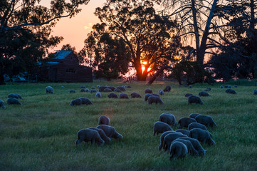 Sheeps grazing in the fields at sunset, Grampians National Park, Victoria, Australia