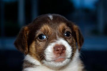 Un perrito pequeño posa para la foto