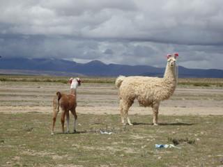 Fotorolgordijn Lama リャマ