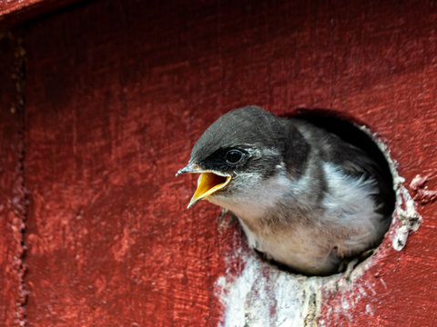 Violet-Green Swallow chick
