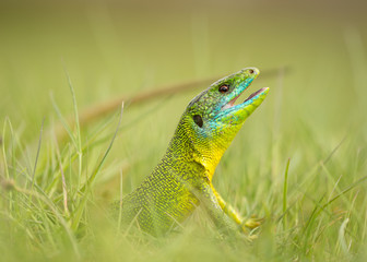 Side view of lizard with open mouth looking out of green grass on summer day