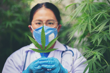 Female scientists are checking marijuana leaves for the disease.