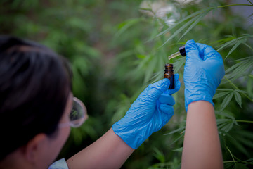 Scientist with gloves examining plants in a greenhouse The concept of alternative medicine, cbd oil, pharmaceutical industry