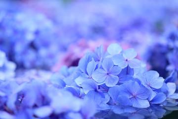 Photo sur Plexiglas Hortensia 紫陽花 青い花