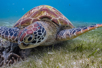 Close up view of a green sea turtle feeding on a sea grass. Green sea turtles are herbivores. The jaw is serrated to help the turtle easily chew seagrasses and algae, its primary food sources.