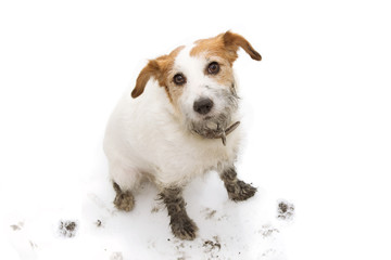 Fototapeta ISOLATED DIRTY AND GUILTY  JACK RUSSELL DOG, AFTER PLAY IN A MUD PUDDLE WITH PAW PRINTS  AGAINST  WHITE BACKGROUND. FROM ABOVE.