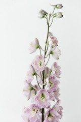 A lilac delphinium flower in full bloom.