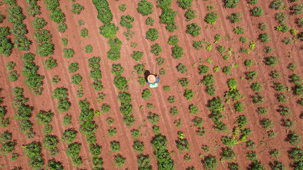 Aerial top view of farmers working at farms cassava