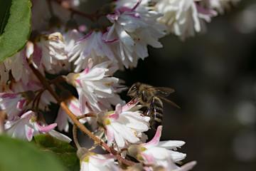 Wildbiene im Sternenstrauch