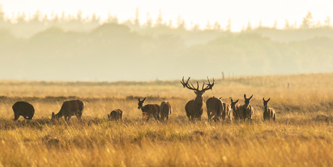 Photo sur Aluminium Cerf Herd of red deer cervus elaphus rutting and roaring during sunset