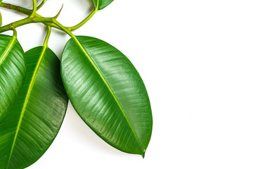 Ficus elastica, rubber fig leafs isolated white background