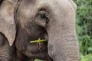 Portrait of an Elephant Eating Bamboo