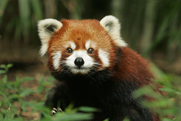 Photo sur Aluminium Panda red panda eating bamboo