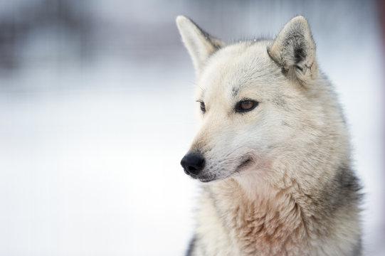 Portrait of a wolfdog. Focus on eye, shallow depth of field.