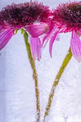 Sonnenhüte in kristallklarem Eis 1