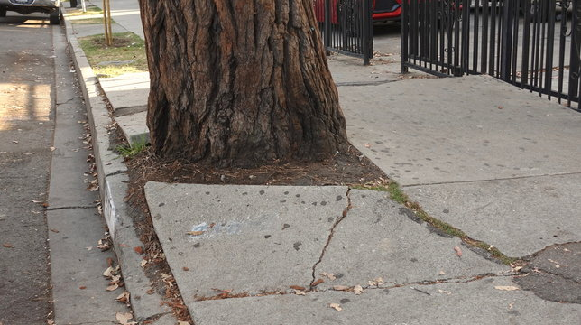 Roots of a mature tree cracking and destroying the sidewalk