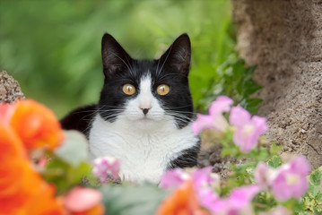 Cute cat, tuxedo pattern black and white bicolor, European Shorthair, posing with prying yellow eyes in a colorful flowery garden, Germany