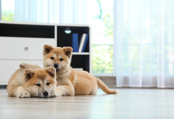 Adorable Akita Inu puppies on floor at home, space for text