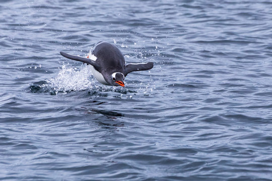Penguin leaping out of water to breath in Antarctica during foraging action, frozen movement of animal in the air above surface, Antarctic Peninsula