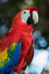 Macro of a Scarlet Macaw, Mexico