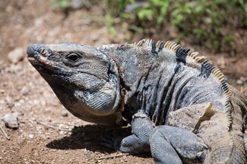 Spiny Iguana changing skin, Mexico