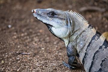 Macro of a Spiny Iguana, Mexico