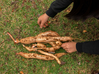 Cassava tuber recently harvested