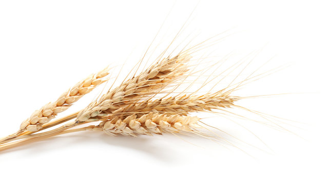 Wheat spikelets on white background