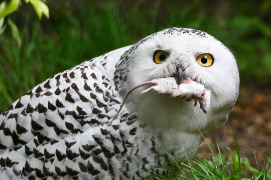 Female snowy owls holding a mouse in its beak.