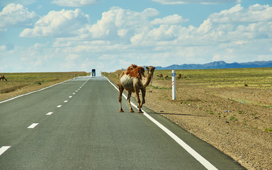 Camels cross the highway