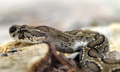 Russell's viper ( Daboia russelii ),venomous snake living in South Asia.