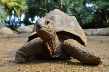 Seychelles Giant Tortoises, (Aldabrachelys gigantea) in park.