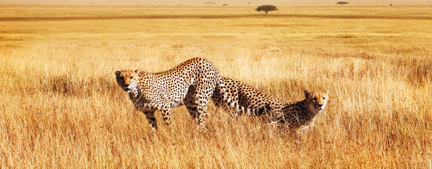 Wall Mural - Group of cheetahs in the African savannah. Tanzania, Serengeti National Park.  Wild life of Africa.