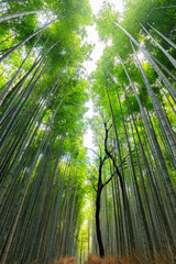 Foto op Canvas Bamboe Japanese bamboo forest