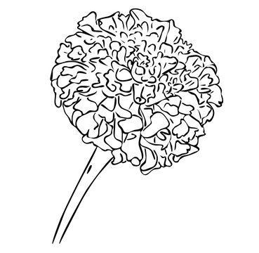 Vector illustration, isolated tagetes flower in black and white colors, outline hand painted drawing
