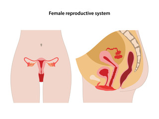 Female reproductive system. Anterior and lateral views. Vector illustration in flat style over white background.