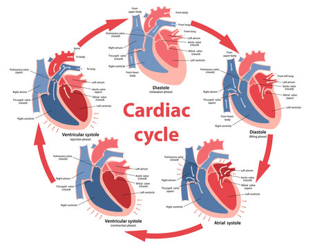 Diagram of the phases of cardiac cycle with main parts labeled. Circulation of blood through the heart. Vector illustration in flat style over white background.