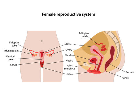 Female reproductive system with main parts labeled. Anterior and lateral views. Vector illustration in flat style over white background.