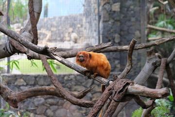Orange monkey on a branch in captivity