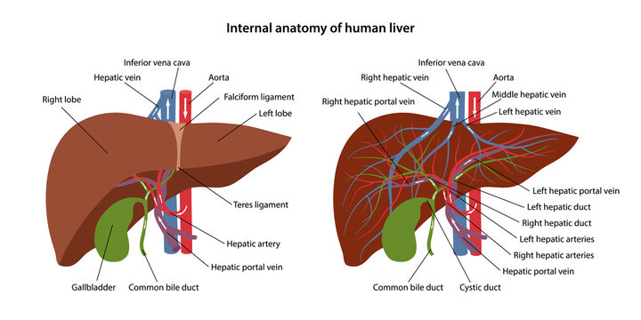 Internal anatomy of human liver with description of the corresponding parts. Arterial and venous circulatory system of liver. Blood supply to the liver. Vector illustration in flat style